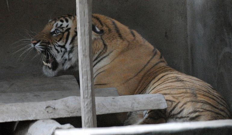 Tigres en Nepal: Nepal censa 235 tigres este año, casi el doble que en 2009