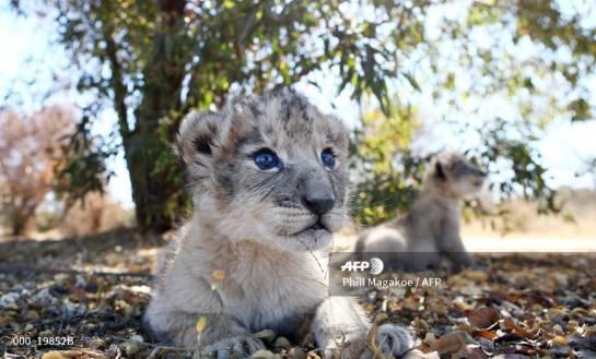 De eerste leeuwen verwekt door kunstmatige inseminatie zijn geboren