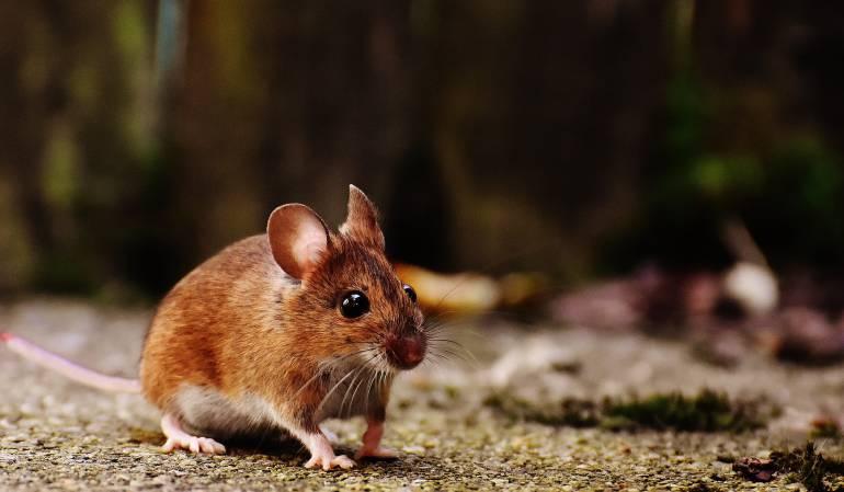 fármaco contra el cáncer de mama.: Prueban con éxito en ratones un fármaco contra el cáncer de mama