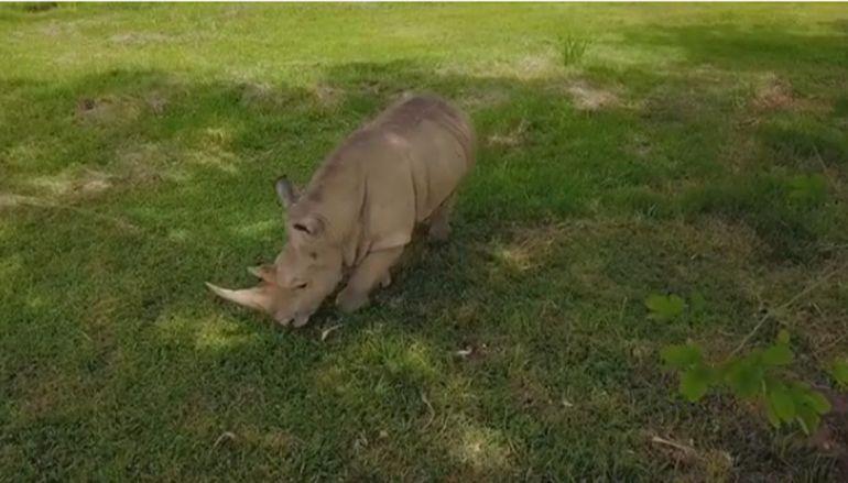 Muere rinoceronte blanco en exhacienda de Pablo Escobar