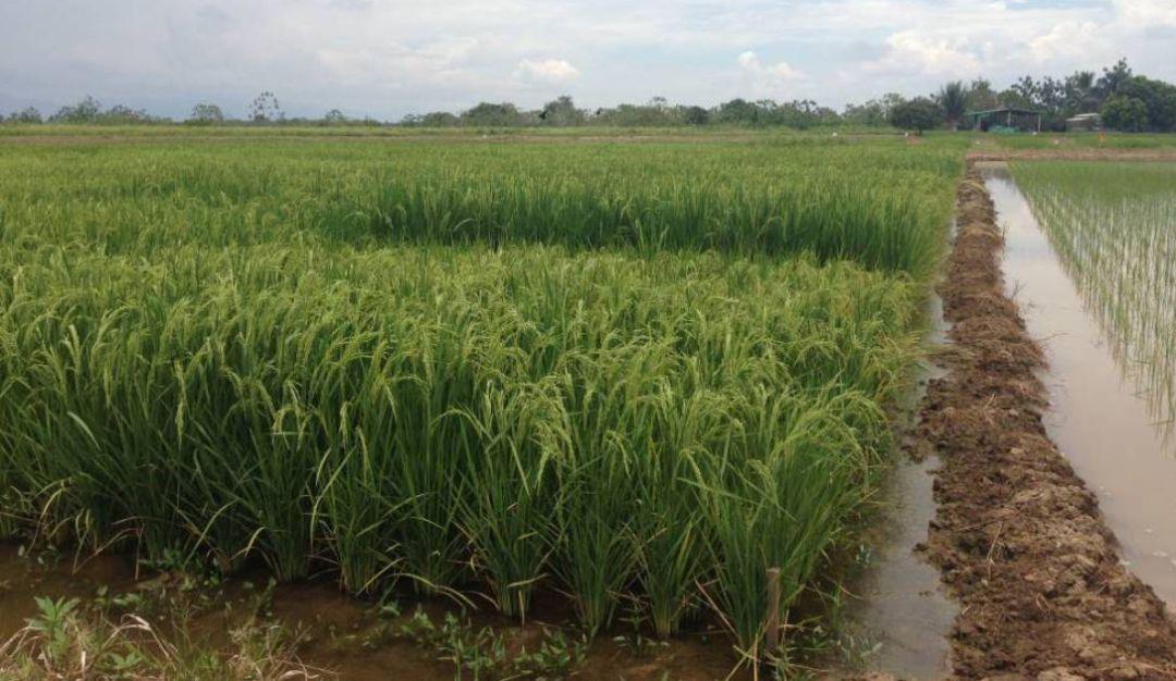 Arroz en Colombia: El arroz, símbolo de la prosperidad de Colombia en 2019