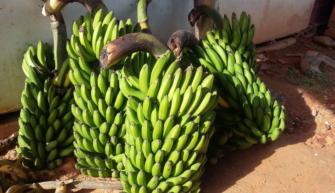El plátano bajó su precio en un 8 por ciento