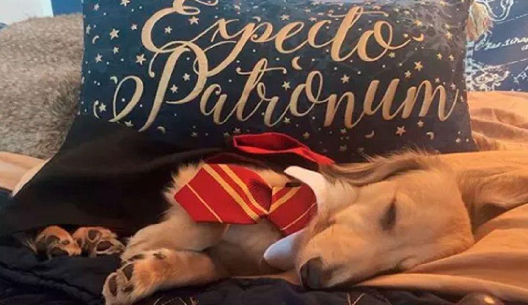 Harry Potter: Conozca el perro que es fan de Harry Potter