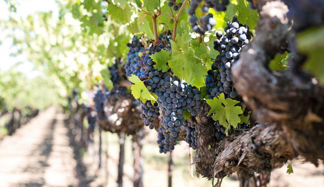Uvas beneficios viñedos: Las uvas ayudan a frenar la llegada de la vejez