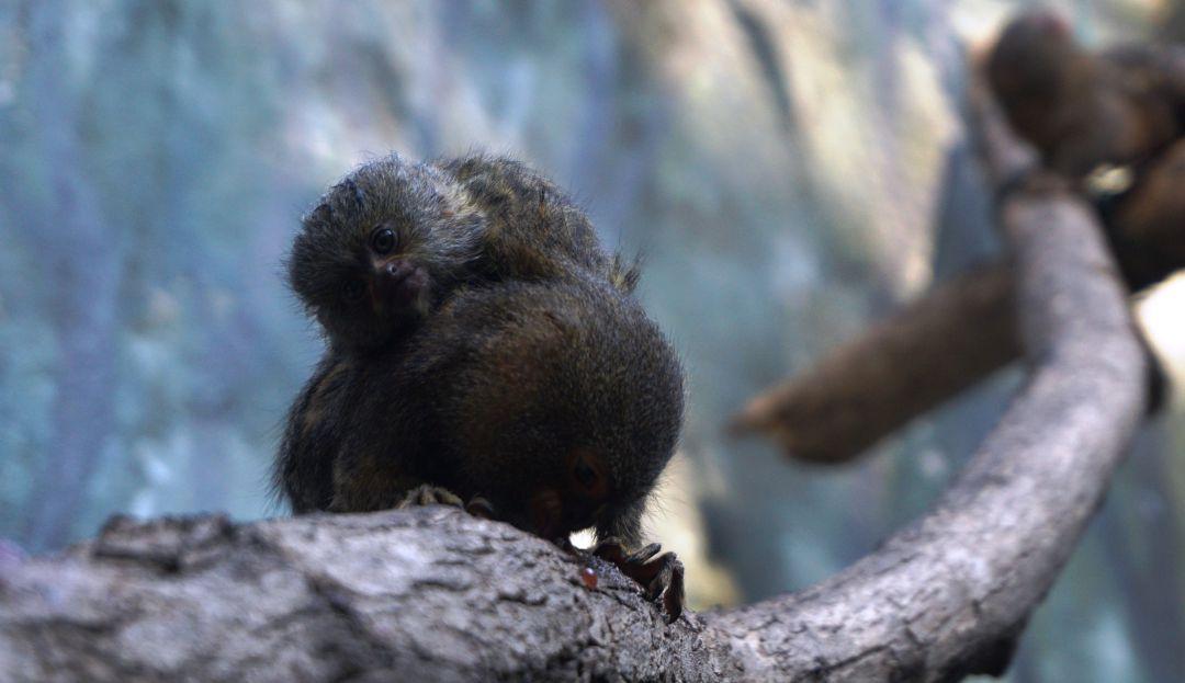Zoológico: Un tití pigmeo es el nuevo integrante del Zoológico de Barranquilla