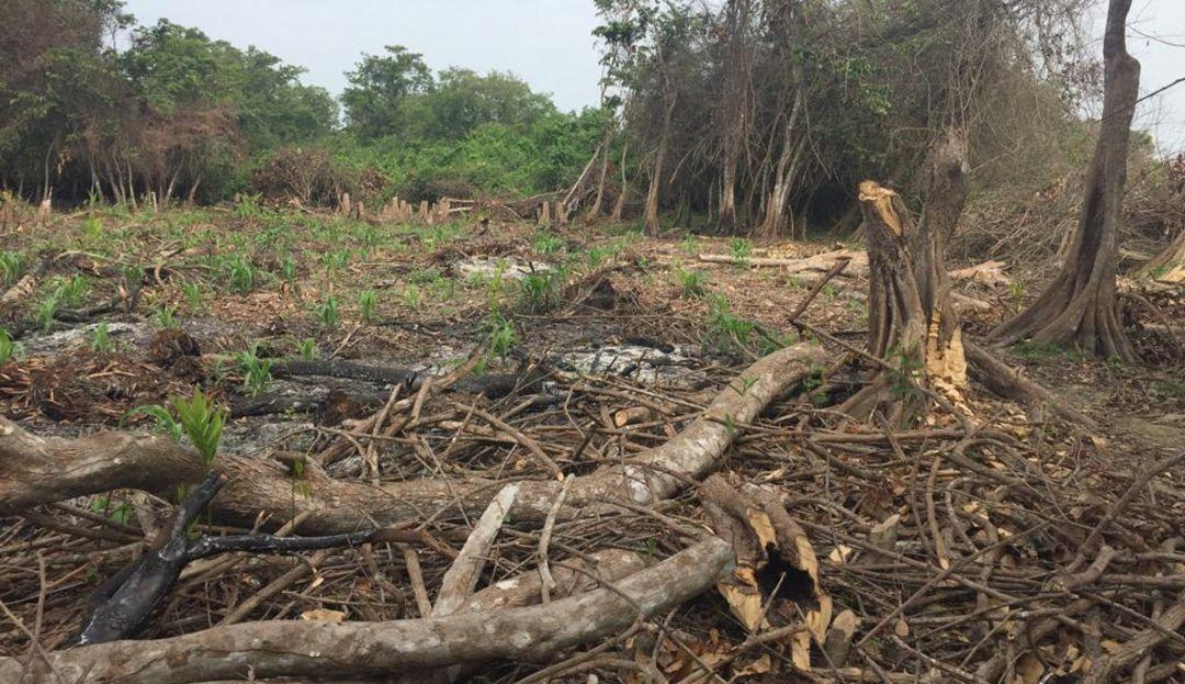 Así se ven las áreas que han sido taladas por los pescadores de la Ciénaga Grande de Santa Marta.