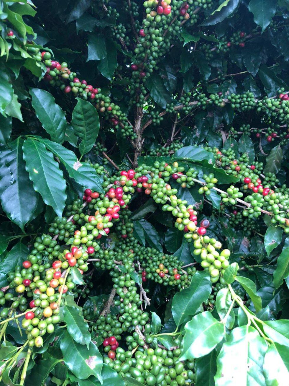 El café esencial para el paisaje cultural cafetero