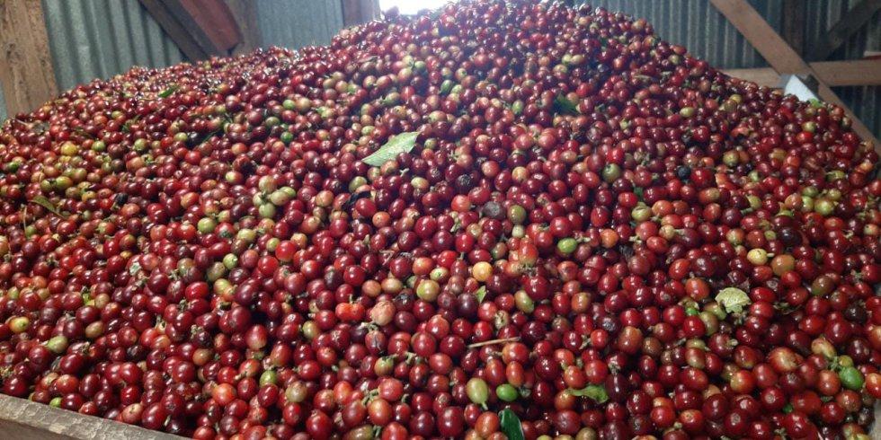 Café maduro después de las recolección en finca de Circasia, Quindío