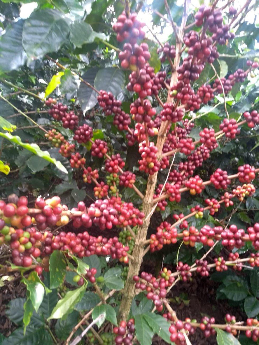 Los palos de café maduro