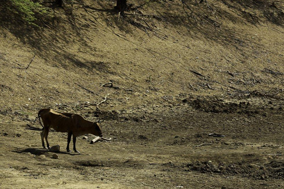 Animales buscan agua en lo que antes era un río para sobrevivir.