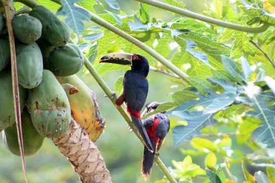 Dispersión de semillas: Aves y murciélagos, facilitadores de la polinización
