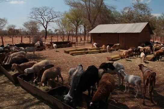 Ganado ovino y caprino en La Guajira