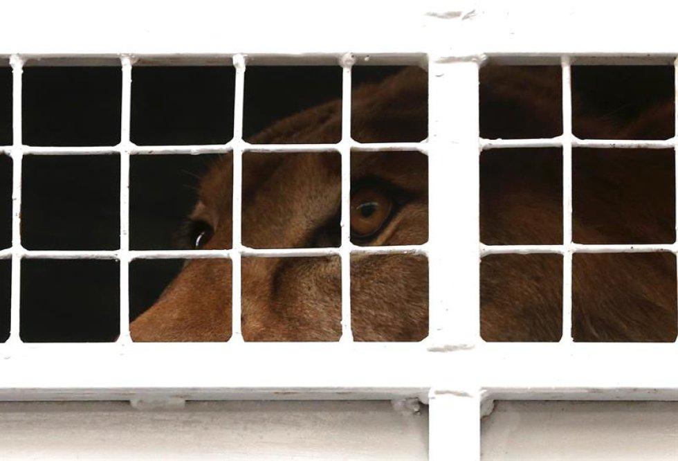 El vuelo que transportará a los grandes felinos hará una parada técnica en Brasil.