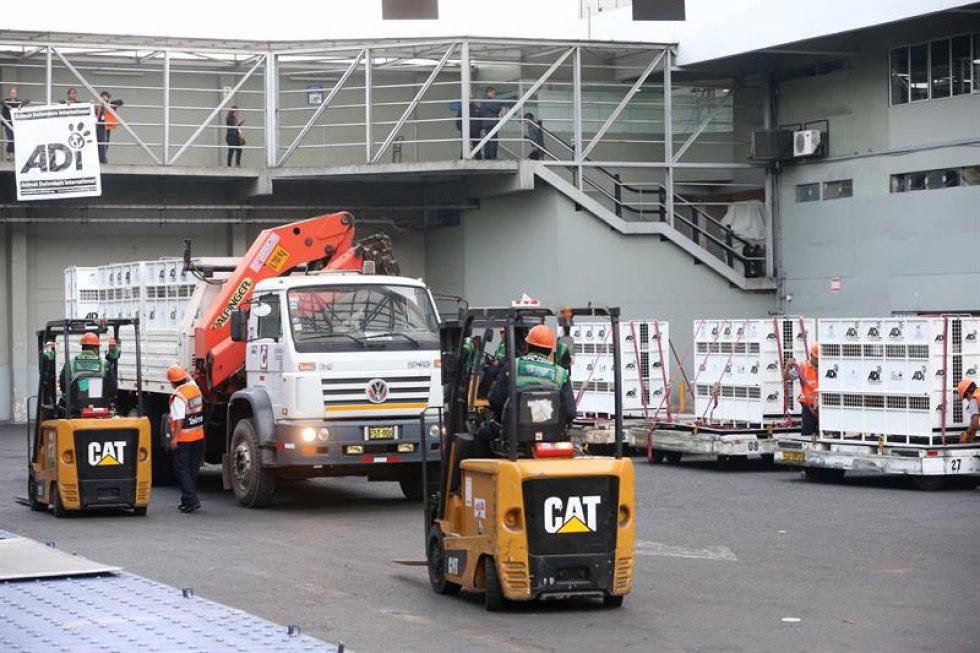 El viaje de regreso de los leones hará una parada técnica en Brasil.
