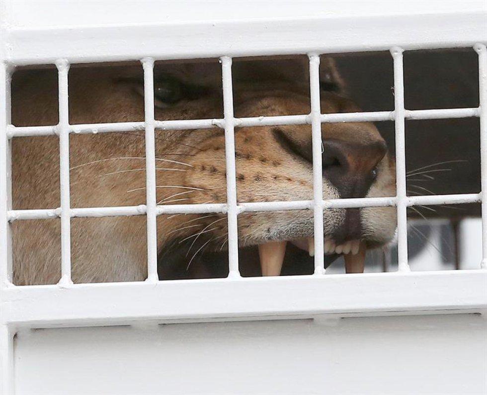 Los leones tendrá un nuevo hogar en una reserva natural en Johanesburgo.