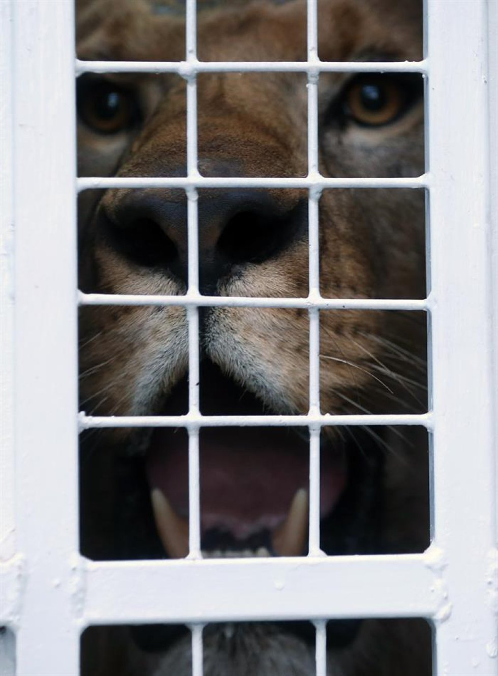 33 son los leones que recuperarán su libertad después de ser incautados a circos en paises suramericanos