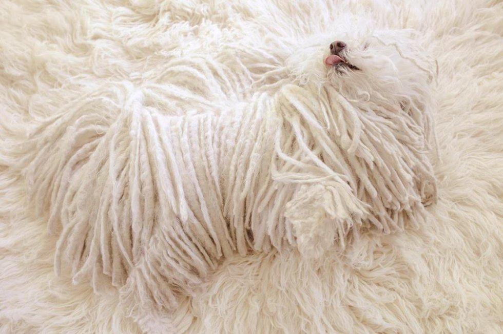 Su pelo largo hace que se confunca fácilmente con un tapete.