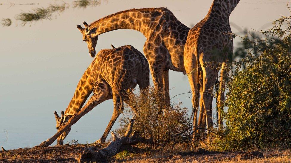 También del Parque Nacional Chobe, Anne May nos envió esta foto de jirafas bebiendo agua del río homónimo.