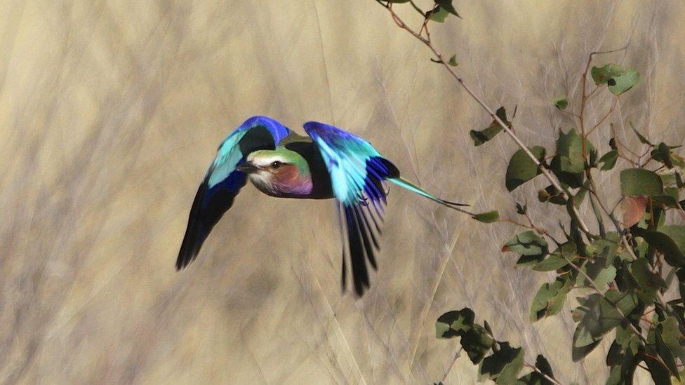 """""""El carraca de pecho lila le da un toque de color intenso al paisaje de Botswana, tanto cuando se alza sobre las ramas como cuando se abalanza inesperadamente sobre su campo de visión"""", nos cuenta Philip Willmott."""
