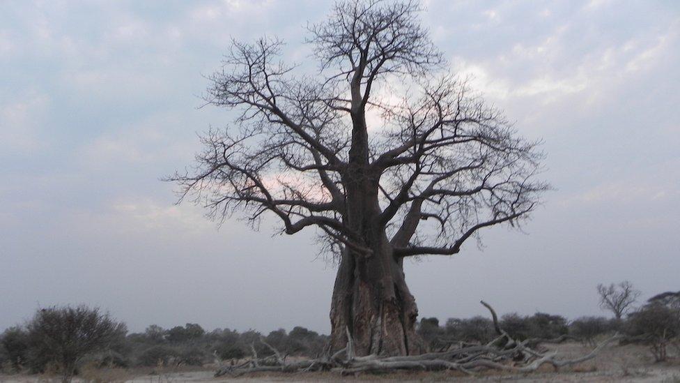 """Conocido por su mención en el clásico infantil """"El Principito"""", el baobab es un árbol distintivo en Botsuana. Este fue retratado por Patricia Mueller. """"Algunos tienen cientos de años"""", cuenta."""