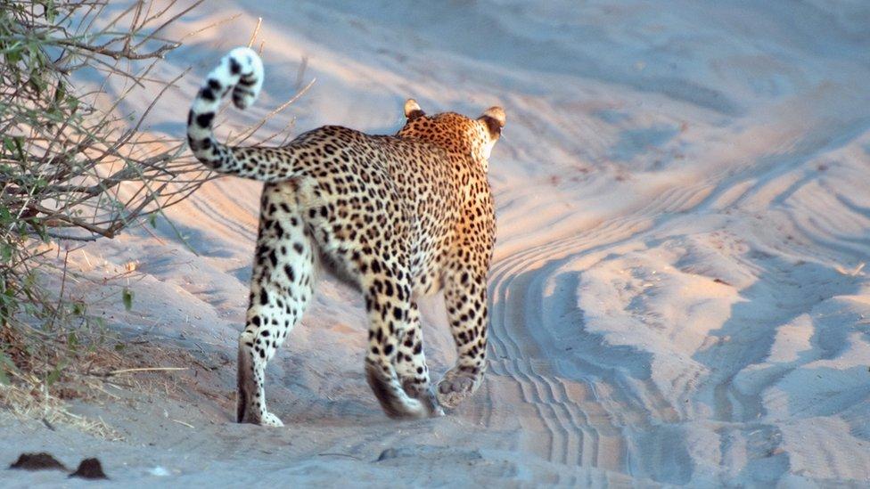 Este leopardo africano fue retratado por Kim Pickett en el Parque Nacional Chobe. Botsuana tiene una de las mayores concentraciones de felinos silvestres de África.