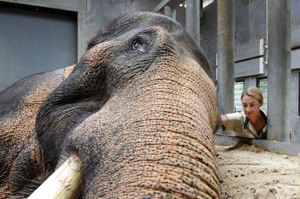 Se le realizaron varios cuidados durante la celebración del 40 aniversario de la llegada al zoológico de Australia.