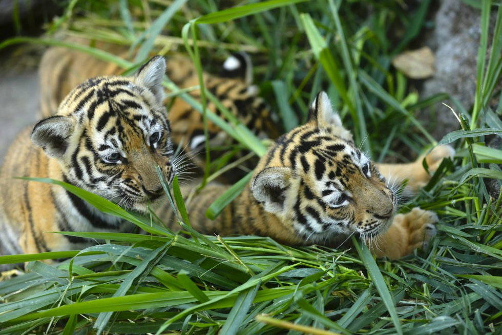 Son un total de cuatro tigres de Bengala cachorros nacidos en cautiverio, los cuales ya causan sensación entre los asistentes.