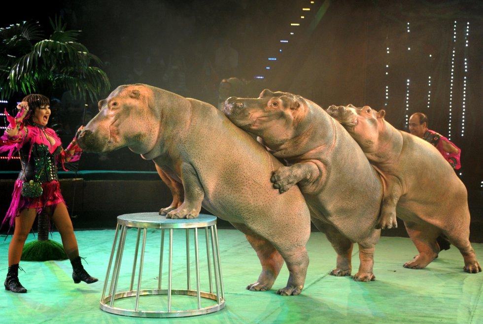 También ha recibido fuertes críticas por exponer a los animales a trabajar a bajas temperaturas. Estos hipopótamos hacen parte de uno de los números más importantes del circo.