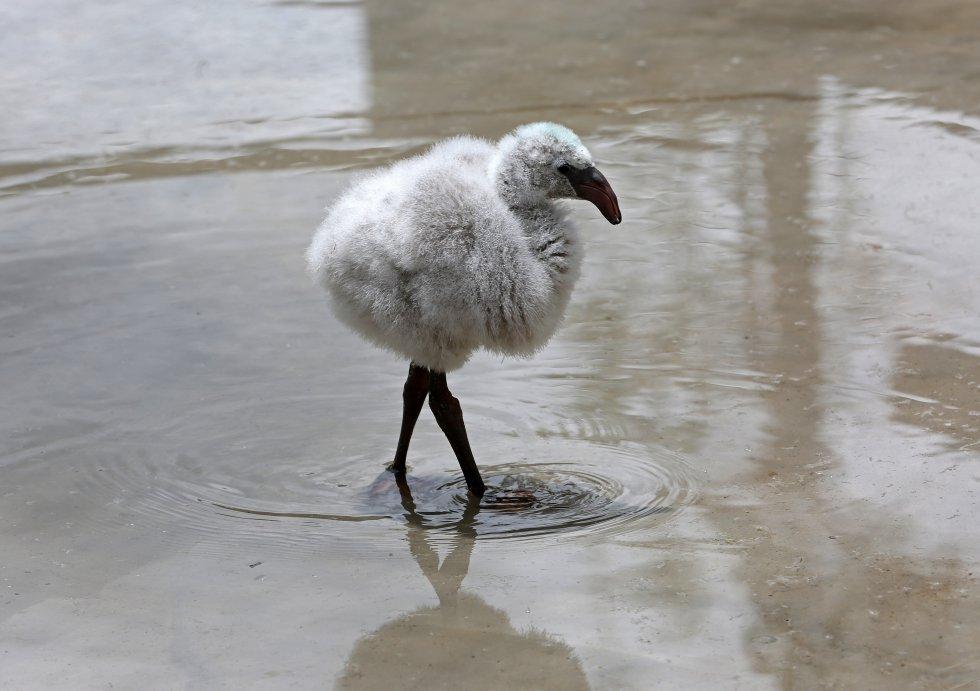 Catorce polluelos de flamenco, de las especies Andina y James, y un cóndor nacieron por primera vez en cautiverio en el zoológico Vesty Pakos de la ciudad boliviana La Paz,