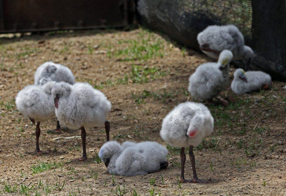 Según el veterinario, es la primera vez en el mundo que esas dos especies de flamencos se reproducen en cautiverio.