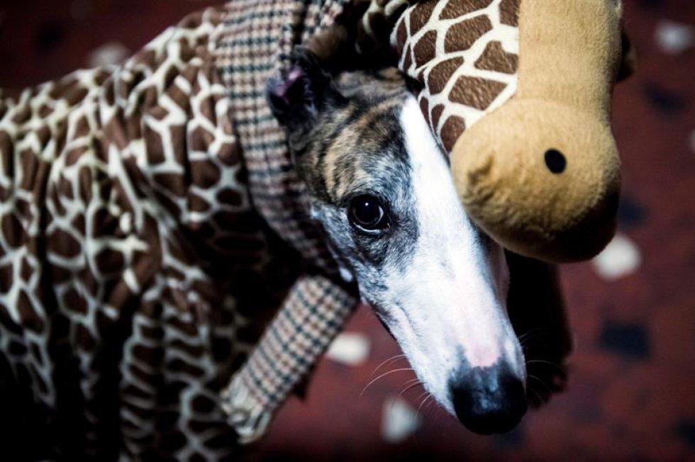 La fundacion Refugio Animal San Francisco y el Grupo de Rescate de Galgos organizó un desfile para ayudar a otros animales.