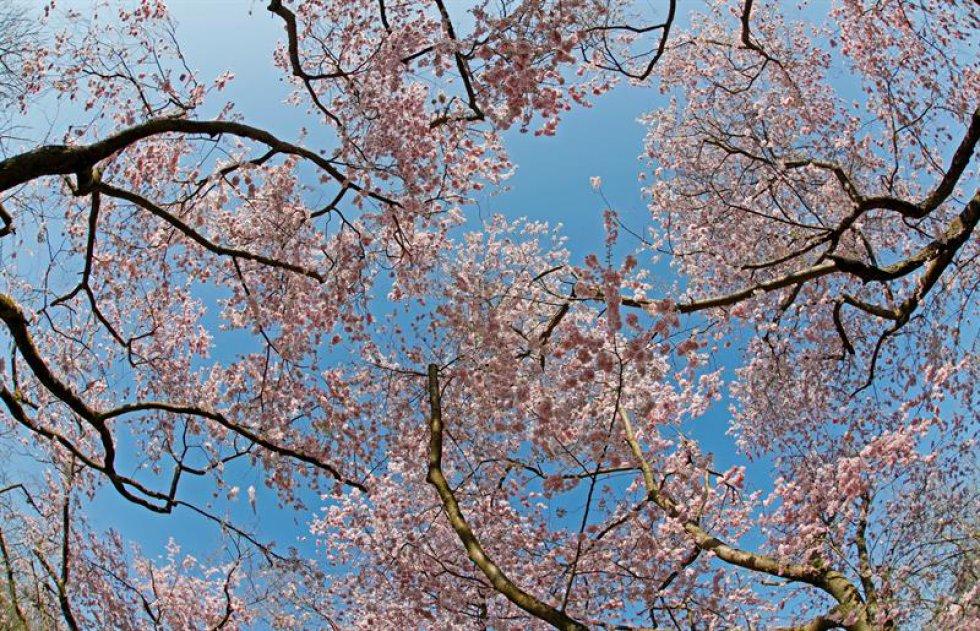 Cerezos japoneses en flor en el jardín del castillo de Schwetzingen.
