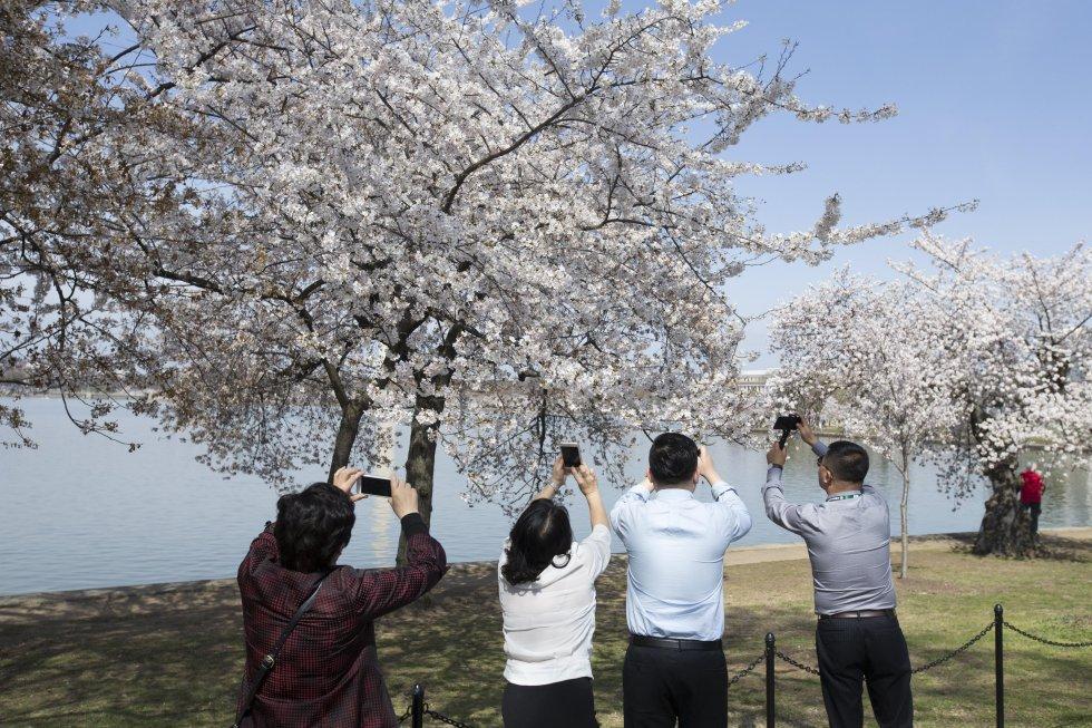Visitantes caminan en medio de cerezos florecidos en Washington, DC. (EEUU), durante el Festival Nacional de la Flor del Cerezo 2017.