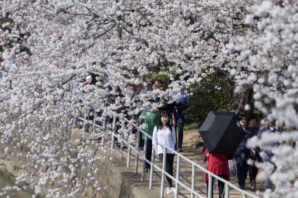 El festival conmemora el regalo de 1912 de tres mil cerezos del alcalde Yukio Ozaki de Tokio a la ciudad de Washington.