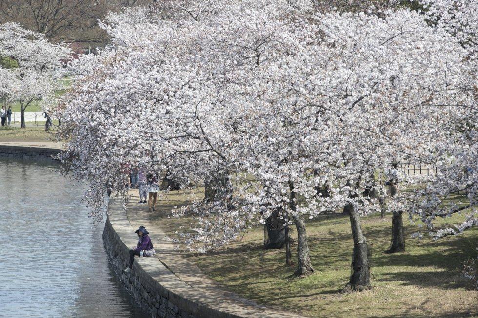 Los cerezos anuncia la llegada de la primavera, a través de  los colores rosa claro y blanco, alrededor del Tidal Basin y el Jefferson Memorial.