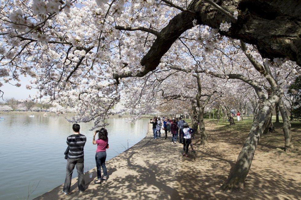 Más de un millón de personas asisten al festival cada año para ver los cerezos y participar en las actividades culturales.