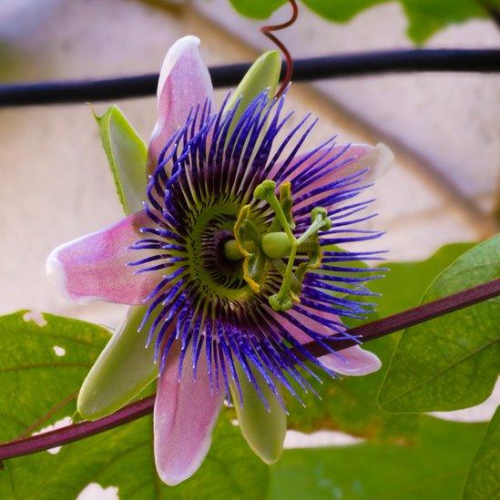 """Y Lo Reyes, desde Guatemala, nos cuenta que esta flor es """"el orgullo del jardín de Mamá"""". Queda claro el porqué."""