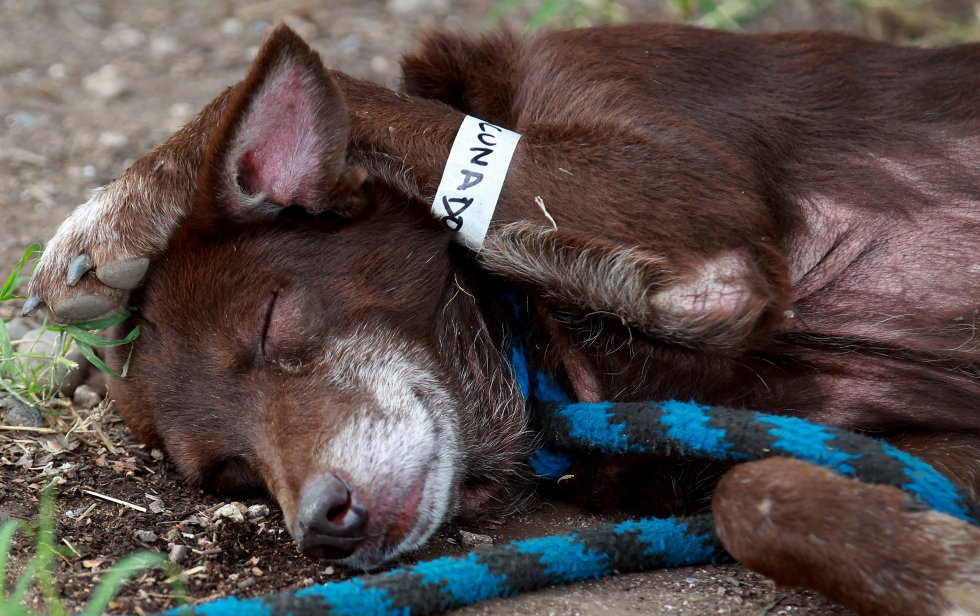 """Un perro con un brazalete donde se lee """"vacunado"""" en un albergue para animales dispuesto tras la avalancha que el pasado 1 de abril afectó a 17 de barrios de Mocoa."""