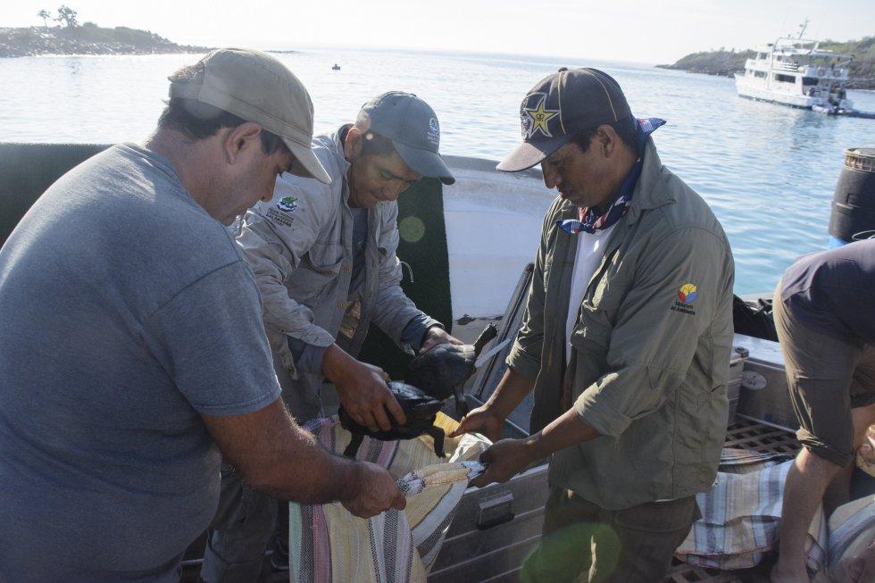 Se liberó en la isla Santa Fe a las tortugas gigantes, de 4 a 5 años de edad, en una operación que forma parte de la Iniciativa para la Restauración de las Tortugas Gigantes