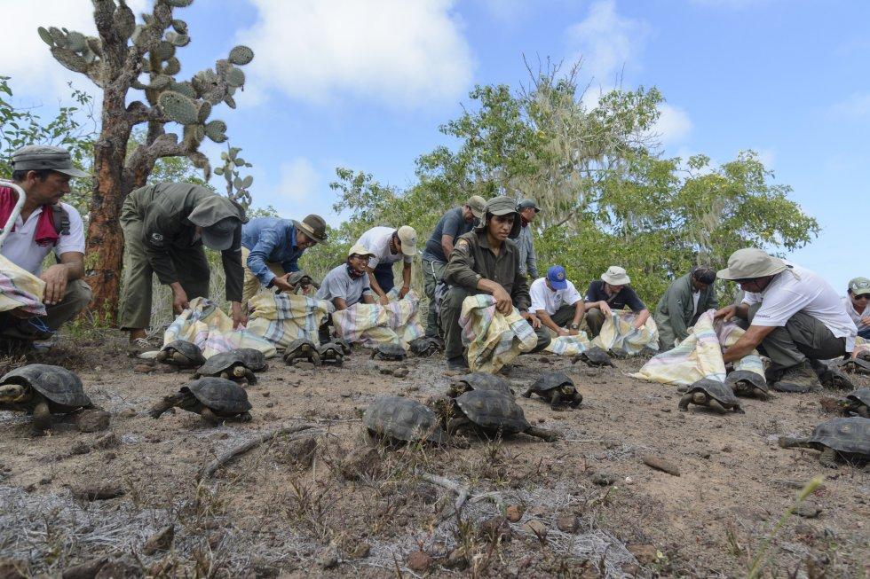 En los próximos días, un equipo de GTRI evaluará la forma en la que se adaptan las tortugas a su nuevo ambiente, señaló el comunicado, en el que se recordó que en junio de 2015 se reintrodujeron, por primera vez a esta isla, 205 tortugas gigantes de la misma especie.