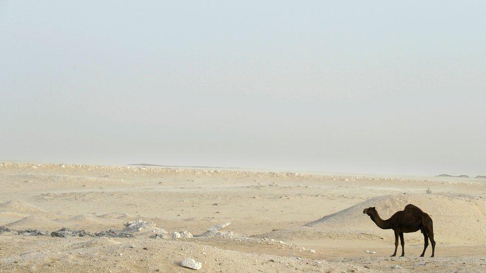 Y, finalmente, un camello que captó el lente de Steve Skinner. No te vayas a olvidar: para compartir tus fotos sólo tienes que enviarlas a susimagenes@bbc.co.uk o etiquétalas con #SilvestreBBC en Instagram.