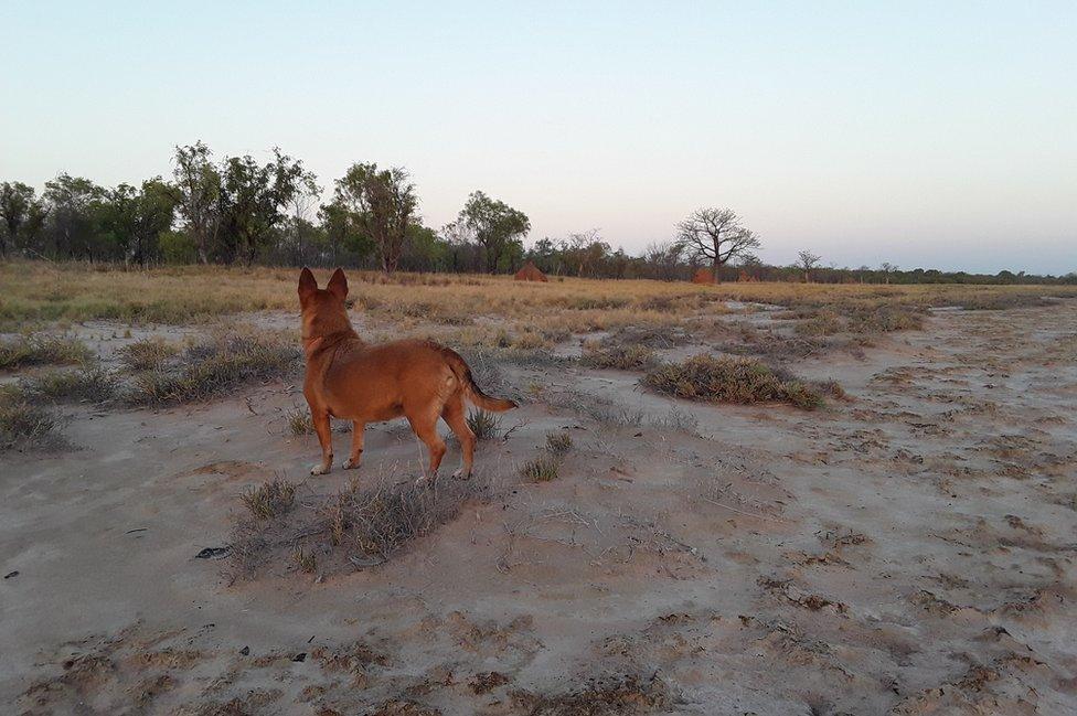 """Bronwyn Jones: """"Aquí aparece mi perro Jolie viendo los arbustos con la luz del atardecer. Es un paisaje de la región de Kimberley, una zona en el oeste de Australia. En la distancia se aprecian árboles y hormigueros. Fue un fresco y hermoso momento del día, después de un agobiante calor""""."""