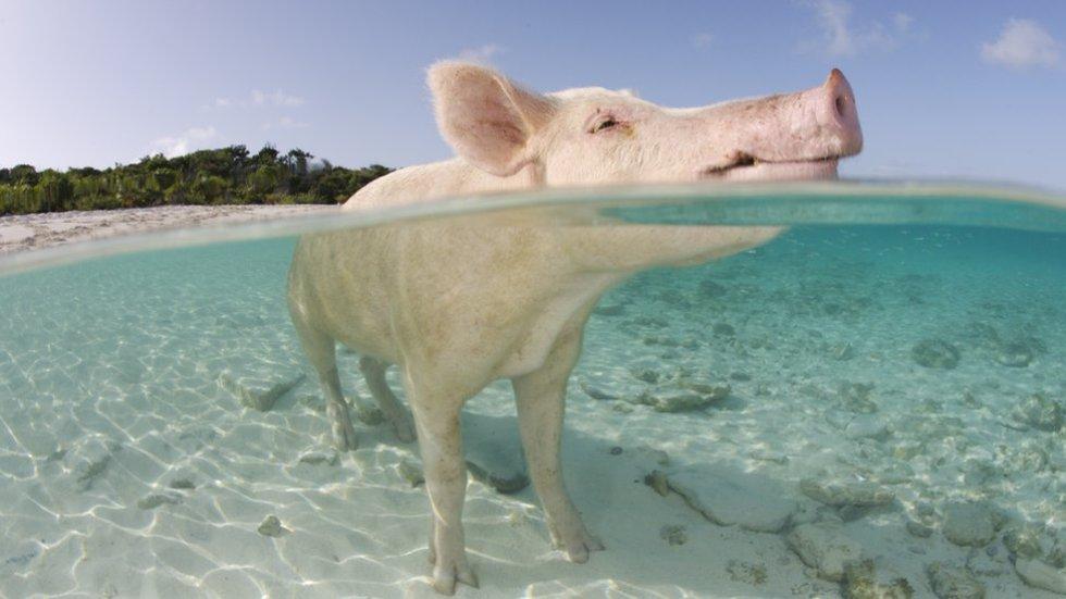 """Los marranos se convirtieron en tal atracción turística que al cayo se lo conoce ahora más como """"La isla de los cerdos""""."""