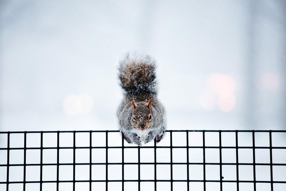 Una ardilla permanece en una valla del Battery Park en Nueva York, Estados Unidos