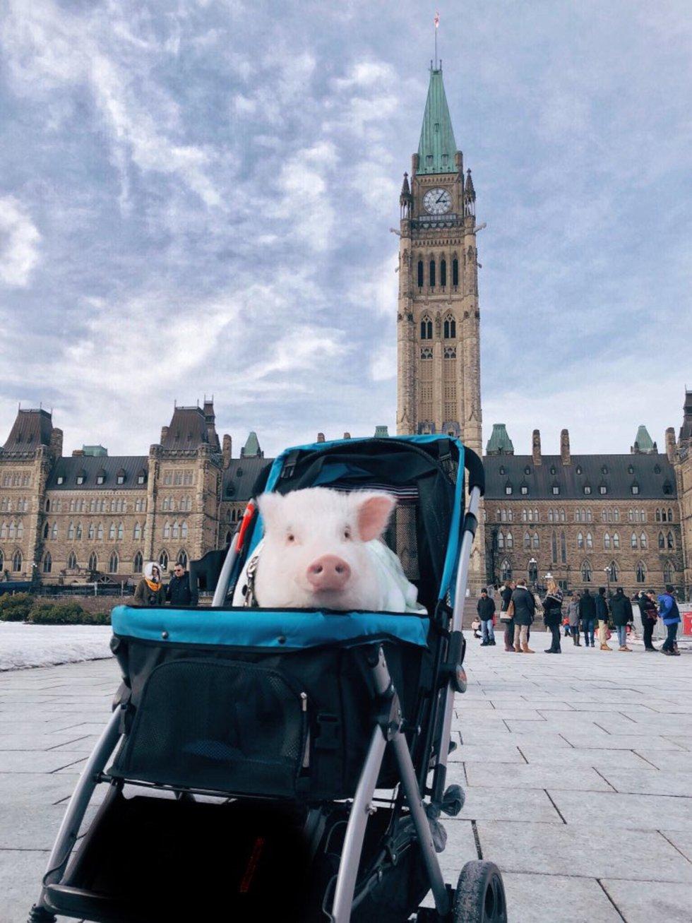 Christopher, el cerdo que viaja por el mundo