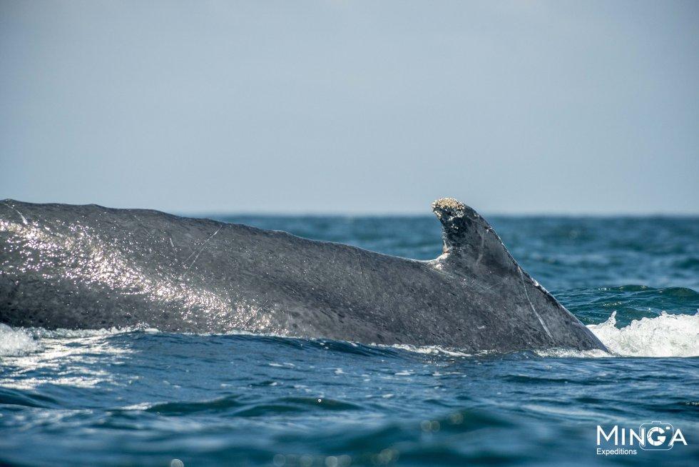 Fotos de ballenas en Tumaco: Ballet de ballenas en Tumaco
