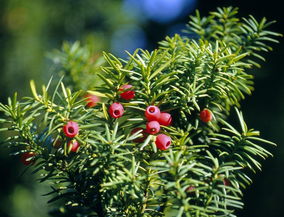 Tejo: El peligro está en la envoltura roja de su fruto, pues con sólo ponerla en la boca empezará a sufrir hasta la muerte. Igualmente sucede con sus hojas, ramas, y la madera, estas provocan convulsiones hasta el fin de su último respiro.