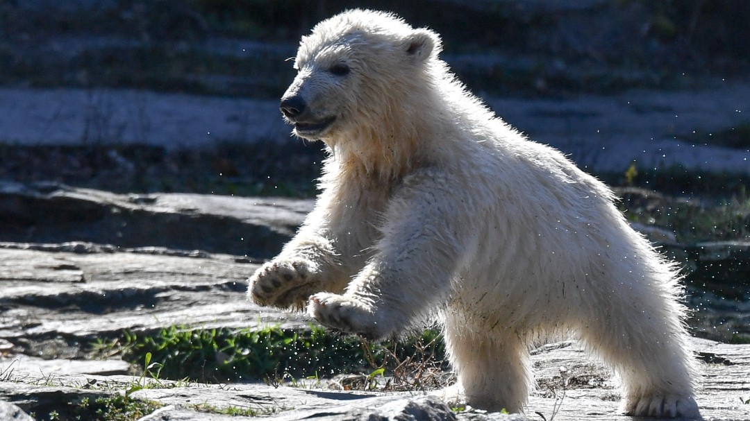 Capturan en Rusia a osa polar hambrienta