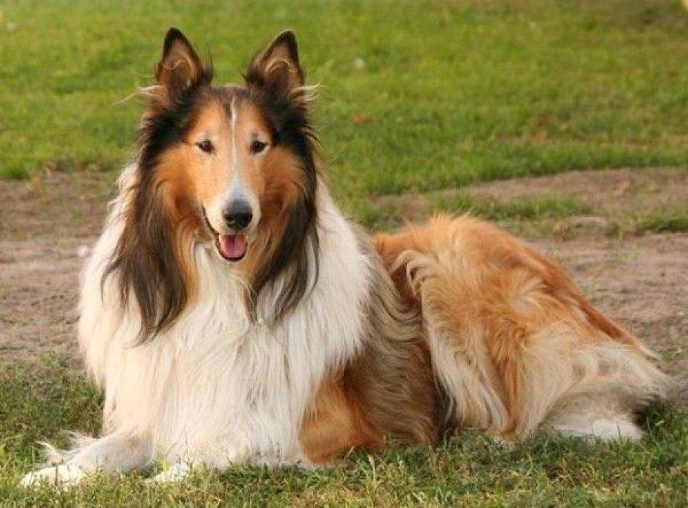 Lassie es una de las perras más conocidas del cine