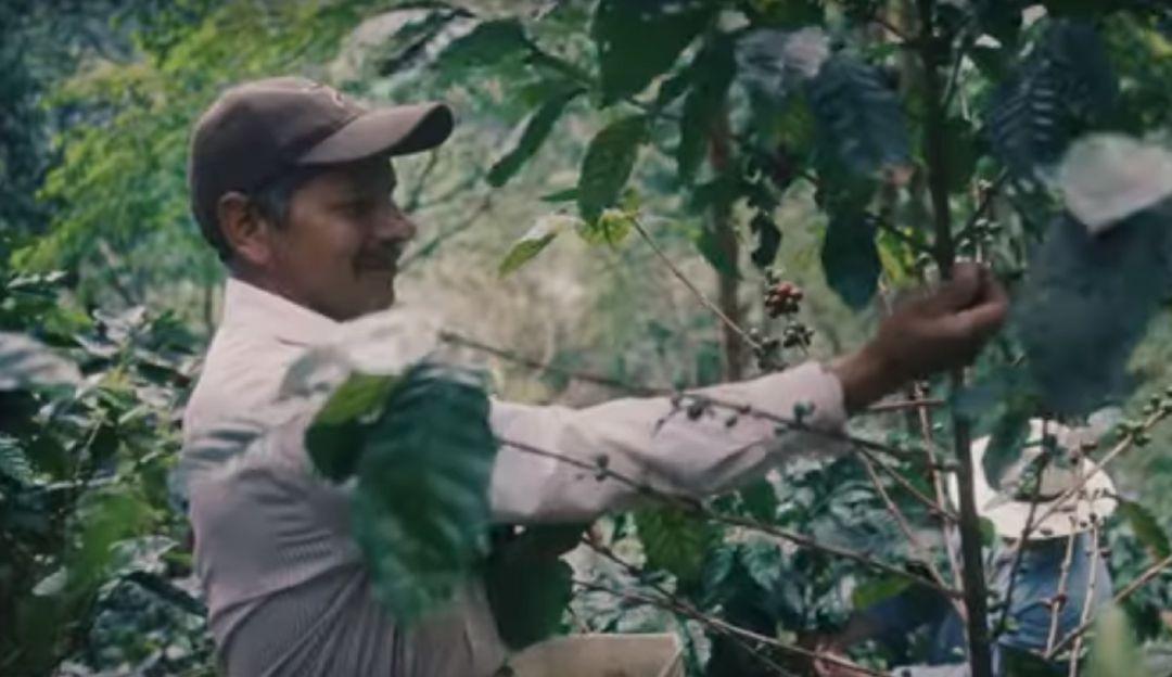 Proyecto de siembra de café en Acacías es una realidad - Caracol Radio